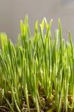 Granos brotados del trigo Foto de archivo libre de regalías