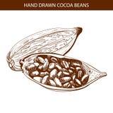 Granos de cacao dibujados VECTOR Foto de archivo libre de regalías