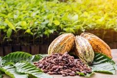 Granos de cacao y vaina del cacao en una superficie de madera Imagen de archivo