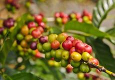 Granos de café Foto de archivo