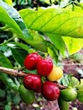 Granos de café amarillos rojos verdes del kona Imagenes de archivo