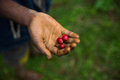Granos de café crudos y orgánicos en la palma de una mano de los farmes Fotos de archivo libres de regalías