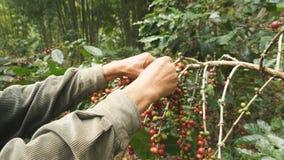 Granos de café de la cosecha metrajes