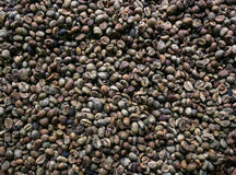 Granos de café de Luwak Foto de archivo libre de regalías
