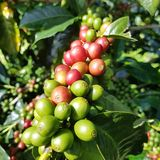 Granos de café del rojo y del grezn imagen de archivo