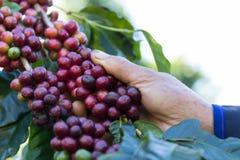 Granos de café en el árbol que espera la tienda para hacer una bebida imágenes de archivo libres de regalías