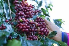 Granos de café en el árbol que espera la tienda para hacer una bebida fotos de archivo