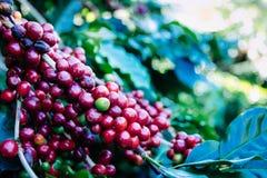 Granos de café en el árbol que espera la tienda para hacer una bebida imagenes de archivo