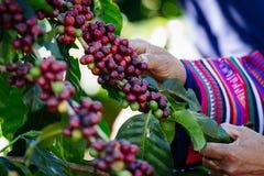 Granos de café en el árbol que espera la tienda para hacer una bebida fotografía de archivo libre de regalías