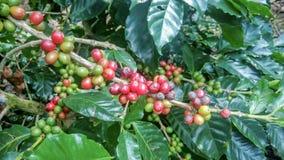 Granos de café en la granja orgánica fotos de archivo libres de regalías