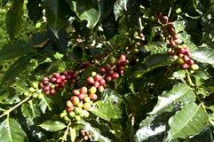 Granos de café en la planta Imagenes de archivo