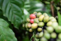 Granos de café en la rama Imagen de archivo libre de regalías