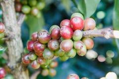 Granos de café en la rama granos de café crudos en la plantación del cafeto Granos de café crudos frescos del primer en árbol Foto de archivo libre de regalías