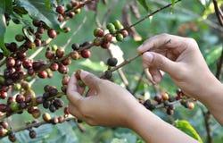 Granos de café en un cafeto Imagen de archivo libre de regalías