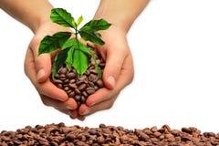 Granos de café frescos, planta del café Fotografía de archivo