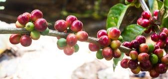 Granos de café inmaduros en el cafeto Fotografía de archivo