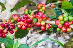 Granos de café inmaduros en el cafeto Fotos de archivo libres de regalías