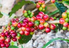 Granos de café inmaduros en el cafeto Imágenes de archivo libres de regalías