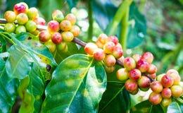 Granos de café inmaduros en el cafeto Imagen de archivo