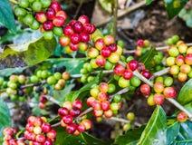 Granos de café inmaduros en el cafeto Fotografía de archivo libre de regalías