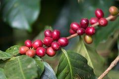 Granos de café maduros Fotografía de archivo libre de regalías