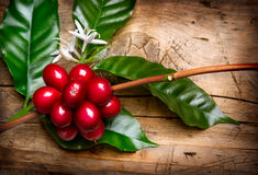 Granos de café maduros en una rama Imágenes de archivo libres de regalías