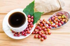 Granos de café maduros rojos Fotografía de archivo libre de regalías