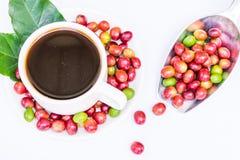 Granos de café maduros rojos Fotos de archivo libres de regalías