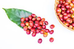 Granos de café maduros rojos Imágenes de archivo libres de regalías