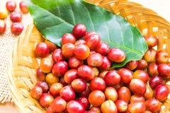 Granos de café maduros rojos Foto de archivo libre de regalías