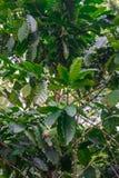 Granos de café no maduros verdes del Arabica en el árbol imagen de archivo libre de regalías