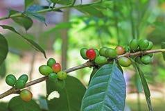 Granos de café orgánicos de Kerala, la India Fotografía de archivo libre de regalías