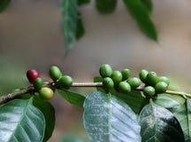 Granos de café orgánicos de la India Fotografía de archivo