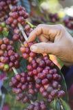 Granos de café que cosechan a mano imágenes de archivo libres de regalías