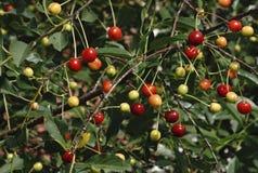 Granos de café que maduran en árbol imagen de archivo