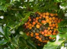 Granos de café rojos hawaianos de Kona en el árbol que crece en la plantación adentro Imagenes de archivo
