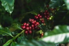 Granos de café rojos de la cereza frescos y naturales fotografía de archivo libre de regalías