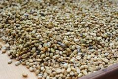 Granos de café sin procesar del luwak Imagen de archivo