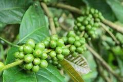 Granos de café verdes Foto de archivo