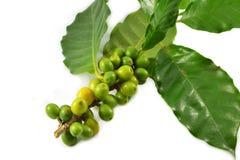 Granos de café verdes foto de archivo libre de regalías