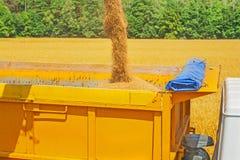Granos de colada del trigo en la cosecha Foto de archivo