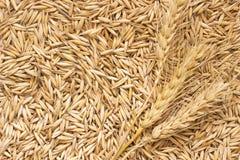 Granos de la avena y de espiguillas del trigo Visión superior Foto de archivo