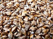 Granos de la cebada Imagen de archivo libre de regalías