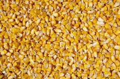 Granos de la migaja del maíz forrajero Foto de archivo libre de regalías
