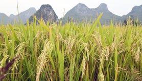 Granos del arroz en Guilin Fotos de archivo libres de regalías