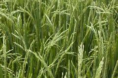 Granos del arroz que maduran en tallo Imagen de archivo libre de regalías