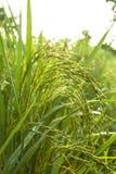 Granos del arroz verde Foto de archivo libre de regalías
