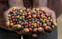 Granos del café maduro en los palmos menores de una persona La África del Este Plantación de café imagen de archivo