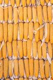 Granos del maíz con el primer de la gotita de agua Fotos de archivo libres de regalías