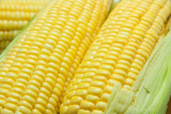 Granos del maíz maduro Imágenes de archivo libres de regalías